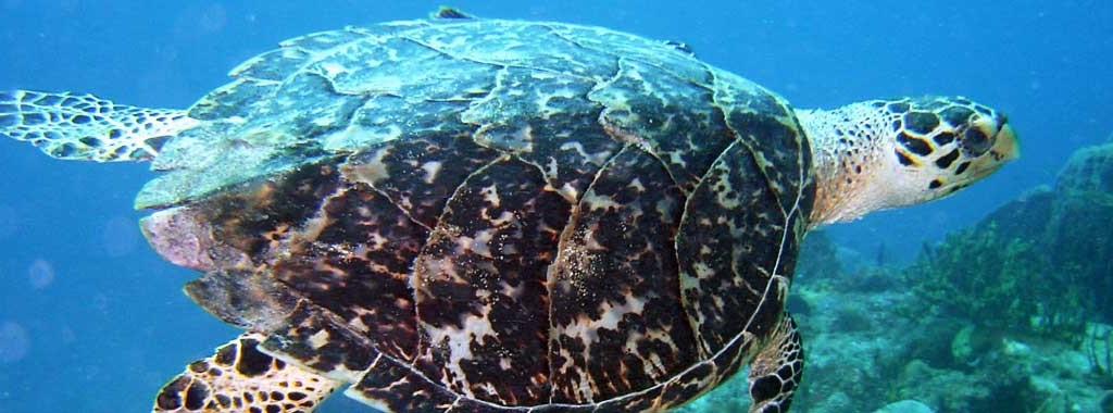 http://www.plongee-guadeloupe-nautica.fr/wp-content/uploads/2013/07/tortue-marine-1024x380.jpg