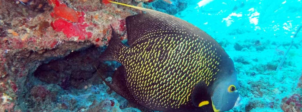 http://www.plongee-guadeloupe-nautica.fr/wp-content/uploads/2013/08/poisson-guadeloupe-1024x380.jpg